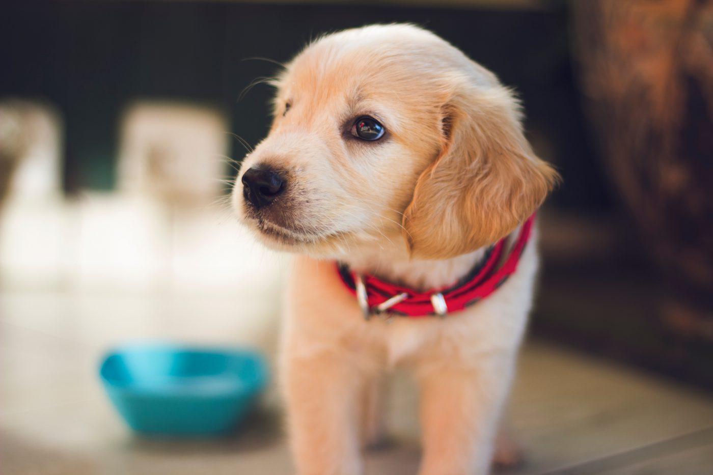 Na zdjęciu jest widoczny pies z odczuwający silny dyskonfort wywołany świądem. Może to być przyczyną Infekcji skórnej o podłożu bakteryjnym, grzybiczym lub pasożytów.